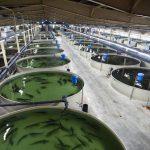 ffaz fischfutterautomat kreislaufanlage fuer aquakultur stoer Regenbogenforelle Bachforelle Karpfen Lachs